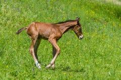 Νεογέννητο foal που έχει τη διασκέδαση Στοκ Φωτογραφίες