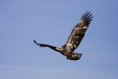 νεολαίες αετών Στοκ Εικόνα