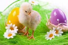 νεολαίες αυγών νεοσσών στοκ φωτογραφία