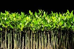 νεολαίες δέντρων μαγγρο& Στοκ Φωτογραφία