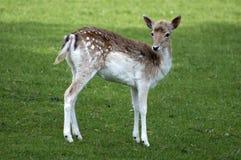 νεολαίες ελαφιών fawn στοκ φωτογραφίες με δικαίωμα ελεύθερης χρήσης