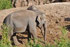 νεολαίες ελεφάντων Στοκ φωτογραφία με δικαίωμα ελεύθερης χρήσης