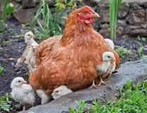 νεολαίες κοτόπουλου Στοκ εικόνα με δικαίωμα ελεύθερης χρήσης