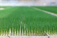 νεολαίες λαχανικών πράσων ανάπτυξης Στοκ φωτογραφία με δικαίωμα ελεύθερης χρήσης