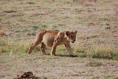 νεολαίες λιονταριών Στοκ Εικόνα