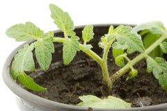 νεολαίες ντοματών φυτών Στοκ φωτογραφία με δικαίωμα ελεύθερης χρήσης