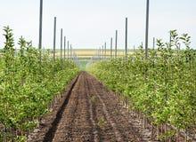 νεολαίες οπωρώνων μήλων Στοκ φωτογραφίες με δικαίωμα ελεύθερης χρήσης
