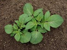 νεολαίες πατατών φυτών Στοκ Εικόνα