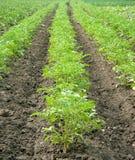 νεολαίες πατατών φυτών Στοκ φωτογραφία με δικαίωμα ελεύθερης χρήσης