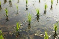 νεολαίες ρυζιού Στοκ Φωτογραφία