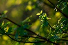 νεολαίες σφενδάμνου φύλ στοκ φωτογραφίες με δικαίωμα ελεύθερης χρήσης