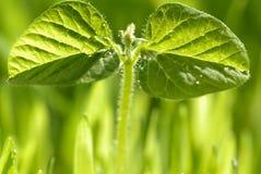 νεολαίες φυτών πρωινού δρ Στοκ φωτογραφία με δικαίωμα ελεύθερης χρήσης