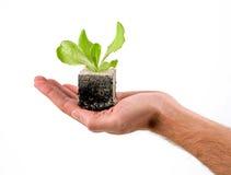 νεολαίες φυτών χεριών Στοκ Εικόνες