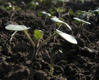 νεολαίες φυτών Στοκ Φωτογραφίες