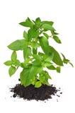 νεολαίες φυτών Στοκ εικόνα με δικαίωμα ελεύθερης χρήσης