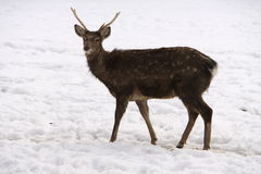 νεολαίες χιονιού ελαφ&iot Στοκ φωτογραφίες με δικαίωμα ελεύθερης χρήσης