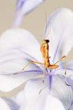 νεολαίες mantis επιτιθεμένων Στοκ εικόνες με δικαίωμα ελεύθερης χρήσης