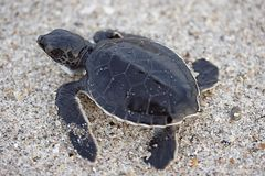 Νεοσσή χελώνα θάλασσας Στοκ εικόνα με δικαίωμα ελεύθερης χρήσης