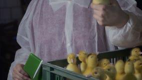 Νεοσσοί ελέγχου επιθεωρητών στις ασθένειες και τις ατέλειες στο φάρμα πουλερικών απόθεμα βίντεο