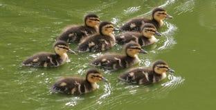 νεοσσοί μωρών Στοκ Φωτογραφία