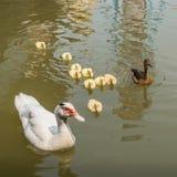 Νεοσσοί παπιών και μωρών μητέρων. Στοκ εικόνες με δικαίωμα ελεύθερης χρήσης