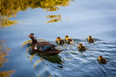 Νεοσσοί παπιών και μωρών στο νερό Στοκ Φωτογραφίες