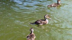 Νεοσσοί που κολυμπούν στη λίμνη κίνηση αργή