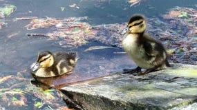 Νεοσσοί πρασινολαιμών Στοκ Εικόνες