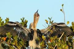 Νεοσσοί Anhinga - εθνικό πάρκο Everglades Στοκ Εικόνα