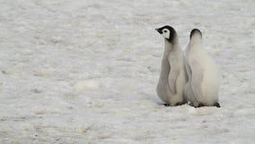 Νεοσσοί Penguin αυτοκρατόρων στον πάγο απόθεμα βίντεο