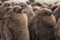 Νεοσσοί Penguin βασιλιάδων (patagonicus Aptenodytes) στο βρεφικό σταθμό στο ρ Στοκ εικόνα με δικαίωμα ελεύθερης χρήσης