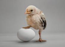 Νεοσσός και αυγό στοκ φωτογραφίες