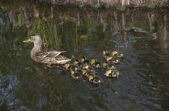 Νεοσσός παπιών παπιών και μωρών μητέρων Στοκ φωτογραφίες με δικαίωμα ελεύθερης χρήσης