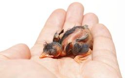 Νεοσσός πουλιών Στοκ φωτογραφία με δικαίωμα ελεύθερης χρήσης