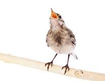 νεοσσός πουλιών wagtail Στοκ Φωτογραφία