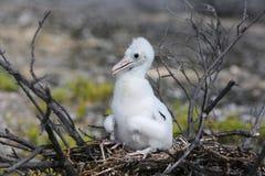 Νεοσσός πουλιών φρεγάτων στοκ φωτογραφίες