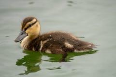 Νεοσσός που κολυμπά σε μια λίμνη στοκ εικόνα με δικαίωμα ελεύθερης χρήσης