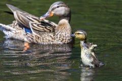 Νεοσσός πρασινολαιμών με το mom στοκ εικόνα