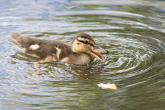 Νεοσσός στη λίμνη Στοκ φωτογραφία με δικαίωμα ελεύθερης χρήσης