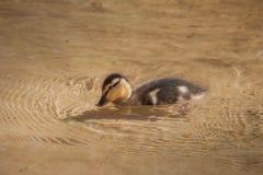 Νεοσσός στο σαφές νερό στοκ εικόνες