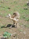 Νεοσσός της Rhea στοκ εικόνα με δικαίωμα ελεύθερης χρήσης