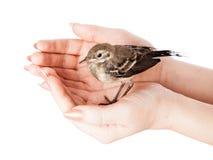 νεοσσός χεριών πουλιών wagtail Στοκ εικόνες με δικαίωμα ελεύθερης χρήσης