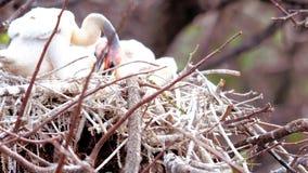 Νεοσσός Anhinga, νότια Φλώριδα Στοκ Εικόνες