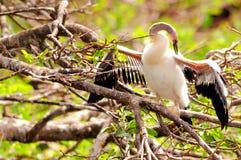 Νεοσσός Anhinga που ελέγχει τα φτερά του στους υγρότοπους Στοκ Εικόνα