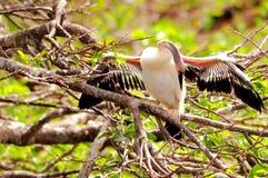 Νεοσσός Anhinga που ελέγχει τα φτερά Στοκ Εικόνα
