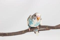 Νεοσσός Budgie, νεοσσός πουλιών Budgarigar Στοκ φωτογραφία με δικαίωμα ελεύθερης χρήσης