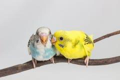 Νεοσσός Budgie, νεοσσός πουλιών Budgarigar Στοκ Φωτογραφία