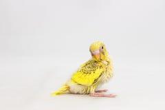 Νεοσσός Budgie, νεοσσός πουλιών Budgarigar Στοκ εικόνα με δικαίωμα ελεύθερης χρήσης
