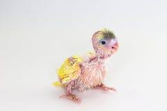 Νεοσσός Budgie, νεοσσός πουλιών Budgarigar Στοκ Φωτογραφίες