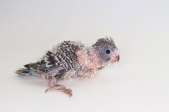 Νεοσσός Budgie, νεοσσός πουλιών Budgarigar Στοκ Εικόνα